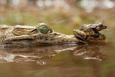 Una rana sobre un cocodrilo.