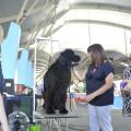 17-06-2017 campionat de bellesa canina2