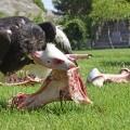 7 de las 11 especies africanas de buitres están en peligro extinción y BIOPARC acoge varias de ellas.