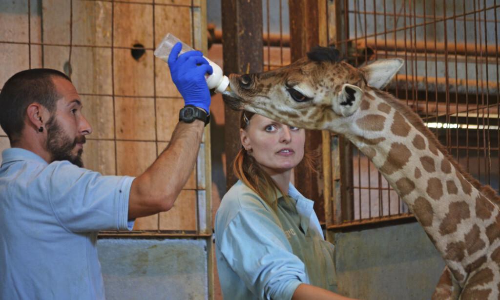 Biberón bebé jirafa - cobijo interior BIOPARC Valencia (3)