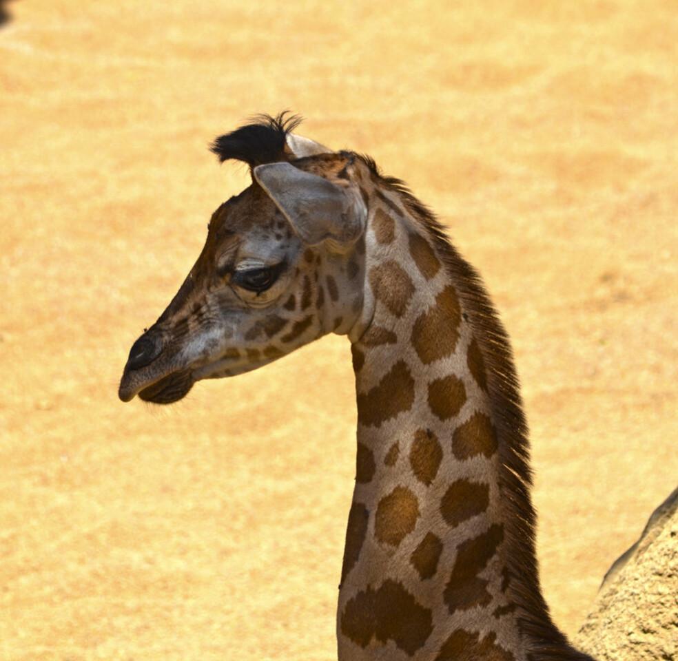 Cría de jirafa Nubia - zona acotada de la Sabana africana de BIOPARC Valencia (3)