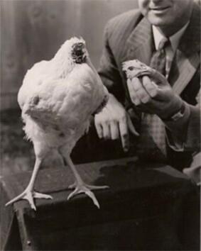 Una-gallina-que-vivió-18-meses-sin-cabeza.