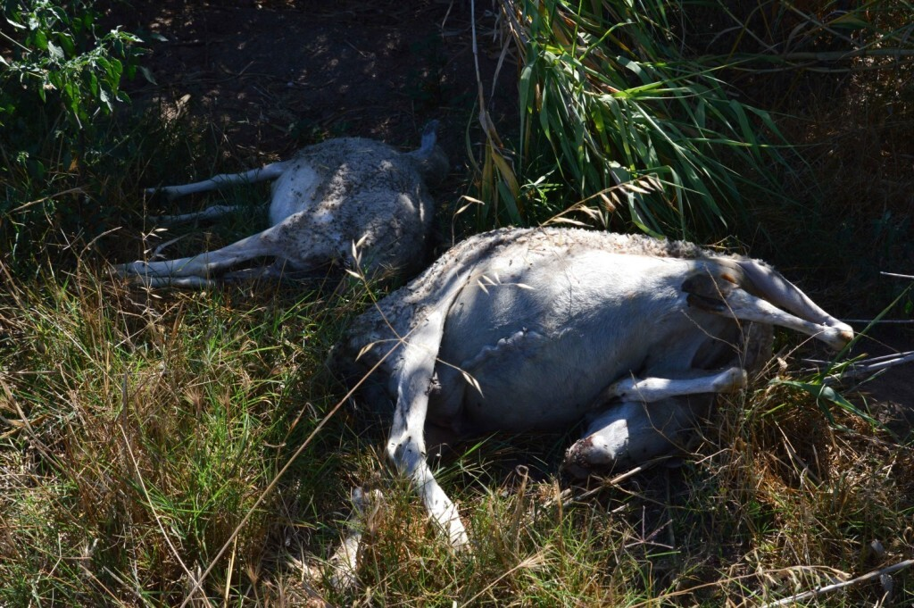 Dues-ovelles-mortes-amagades-en-un-canyar