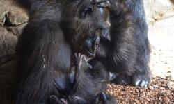 Julio 2017 - bebé gorila recién nacido en BIOPARC Valencia - Ali y Mambie (padres) 3