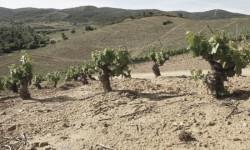 Los viticultores denuncian la pérdida del 80 del viñedo viejo
