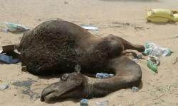 camellos-muertos-1920-2