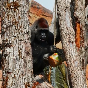 gorila y helado en BIOPARC