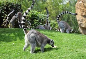 lemures y helados BIOPARC
