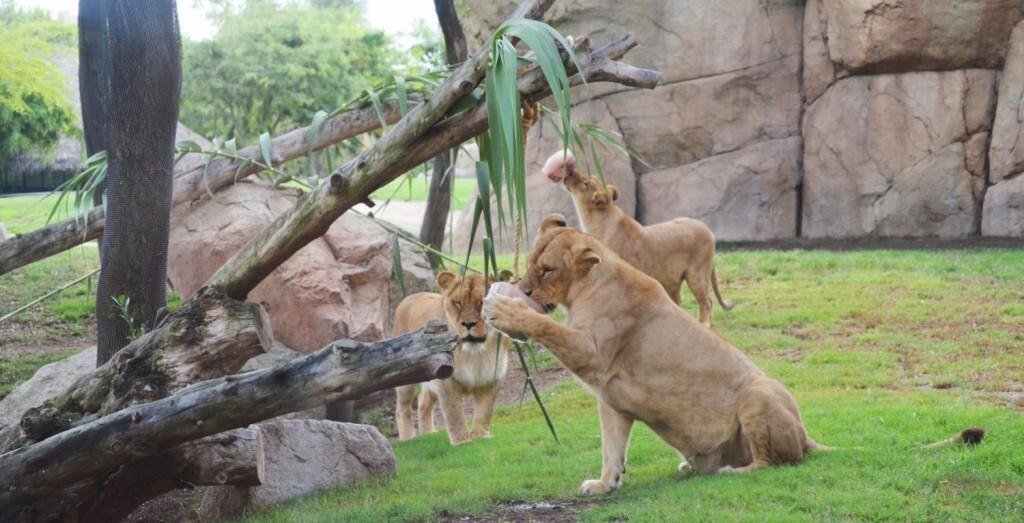 leones y helados BIOPARC