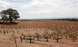AGR_viñedo_vino uva plano_general_3