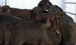 Agricultura convoca las ayudas para el fomento de razas autóctonas en peligro de extinción Guirras03