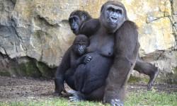 Agosto 2017 - Nalani, Virunga y Ebo - gorilas - BIOPARC Valencia