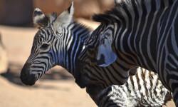 Cebras - madre mimando a su cría recién nacida - Sabana africana de BIOPARC Valencia - septiembre 2017