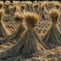 El Ayuntamiento de València desarrolla diferentes proyectos e iniciativas para el aprovechamiento de la paja de arroz.