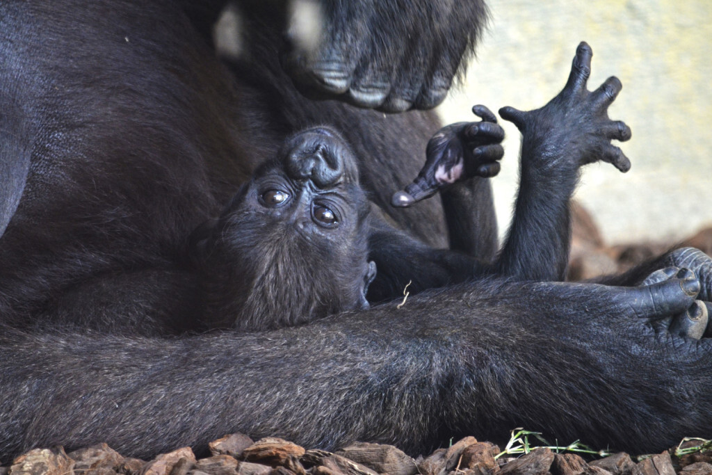 La bebé gorila Mbeli - BIOPARC Valencia octubre 2017