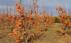frutales-de-caqui-1000x480