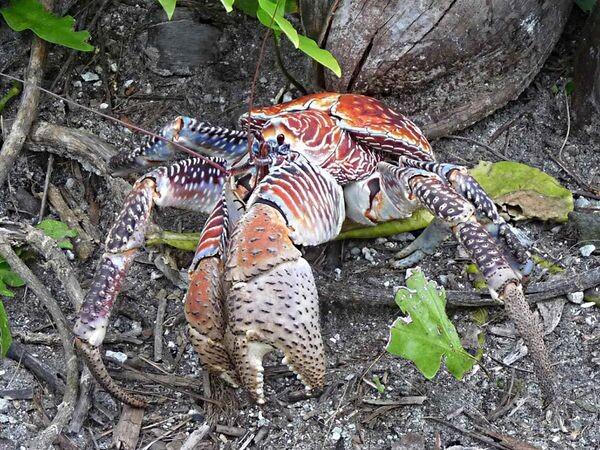 600px-Coconut_crab