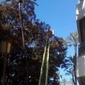 Parques y Jardines empiezan la operación de poda de los ficus gigantes de la Alameda.