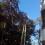 Parques y Jardines empiezan la operación de poda de los ficus gigantes de la Alameda