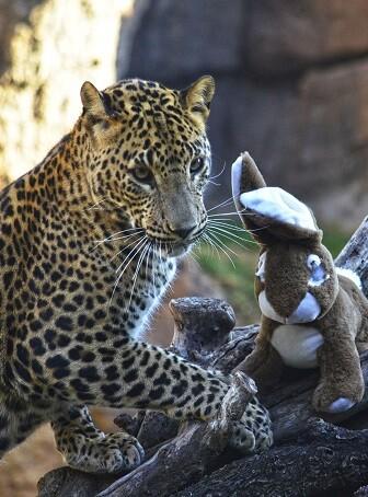 Enriquecimiento ambiental de Navidad 2017. Leopardo descubriendo los regalos.