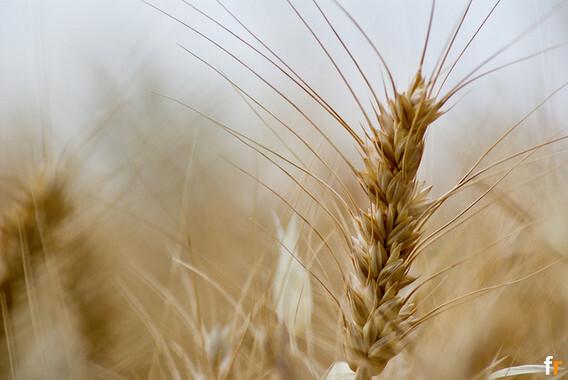 Un-nuevo-tipo-de-trigo-sin-gluten-y-sin-efectos-adversos-para-la-salud_image_380