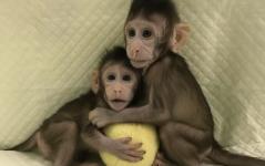 China rompe una barrera científica y ética clonó dos monos Infobae