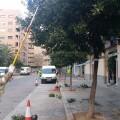 El Ayuntamiento empieza la recogida de la naranja amarga de las calles y plazas de la ciudad.