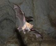 Murcielago de herradura - conservacion Fundacion BIOPARC