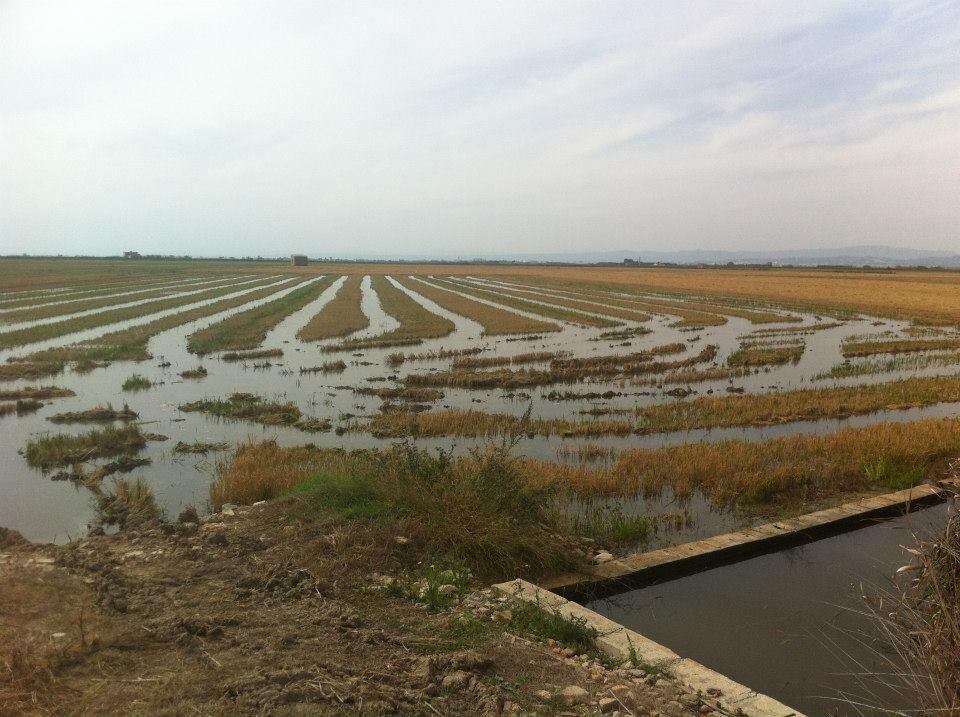 arroz arrozales (2)