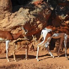 Continúan los nacimientos en BIOPARC Valencia con una gacela Mhorr, especie extinta en la naturaleza