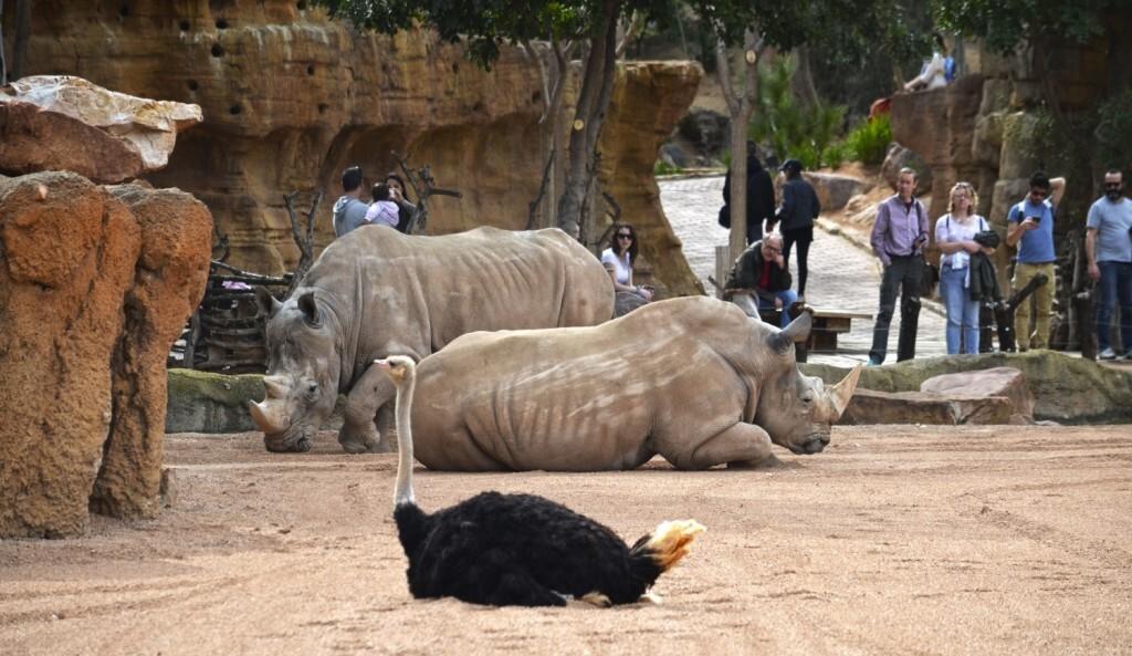 Primavera 2018 - visitantes en la Sabana africana de BIOPARC Valencia observando a los rinocerontes y las avestruces-min