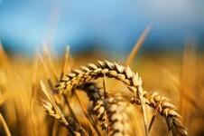 Agricultura-trigo-magrama