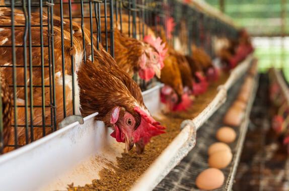 En España el 93% de las gallinas ponedoras viven enjauladas. / Fotolia