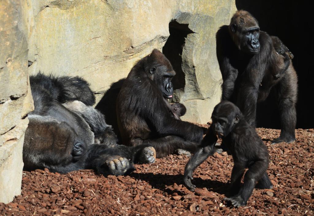 Familia de gorilas en BIOPARC Valencia - primavera 2018