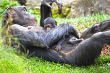 La chimpancé Natalia y su bebé en BIOPARC Valencia 25 abril