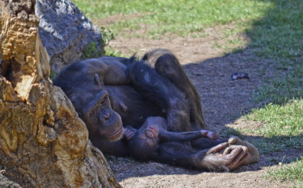Primavera 2018 - Nace una cría de chimpancé en BIOPARC Valencia (2)