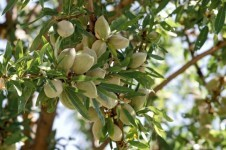 almond-tree-708x469