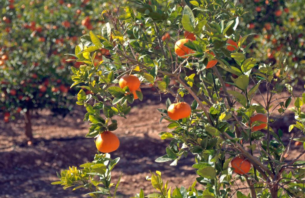 mandarina01