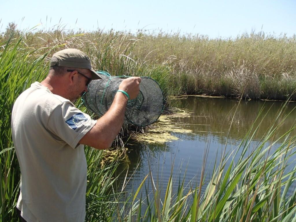 Els 200 fartets alliberats febrer passat a la Desembocadura del Millars ajuden a combatre les plagues de mosquits (5)