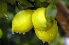 Limon04