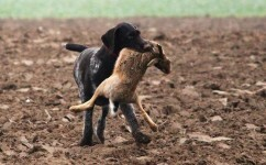 perro-de-caza