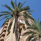 L'Ajuntament intensifica la poda de palmeres en agost