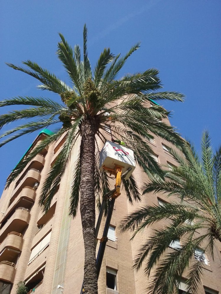 0813 Poda palmeres 2