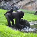 Gorilas - Ebo y Pepe - BIOPARC Valencia - agosto 2018
