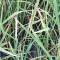 Granos de arroz 'quemados' por la pyricularia