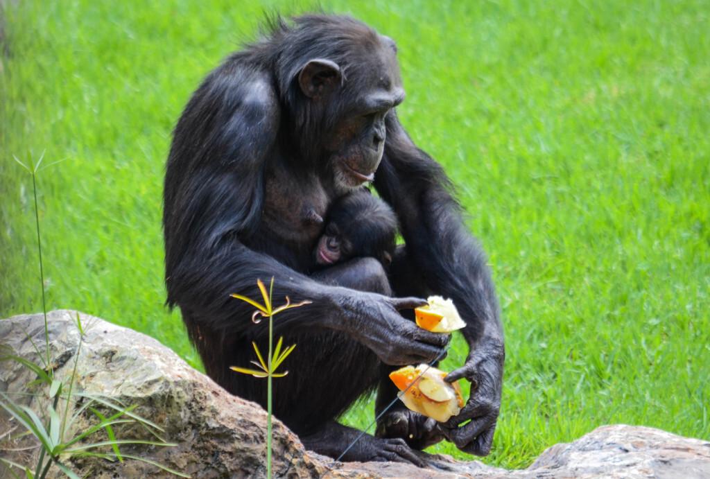 chimpance con cria comiendo helado - BIOPARC Valencia (1)