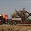 espolio de olivos 1