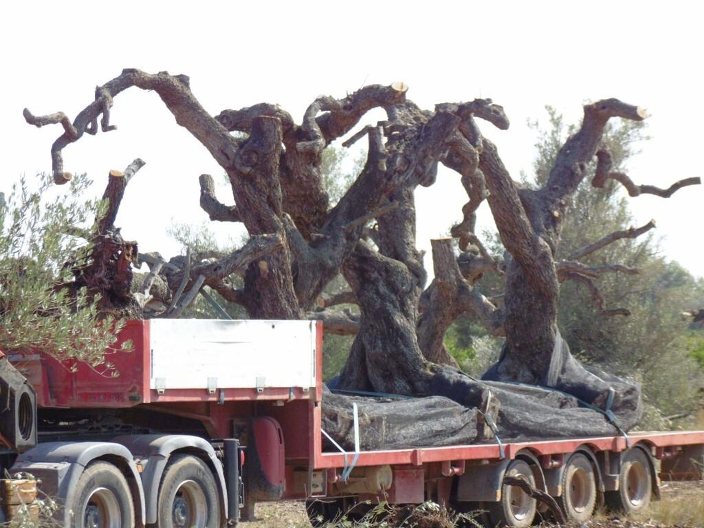 espolio de olivos