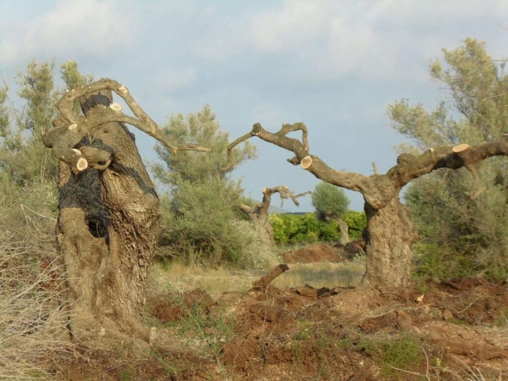 espolio de olivos 2