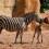 La cebra rescatada por sus cuidadores en BIOPARC Valencia se llama Milagritos